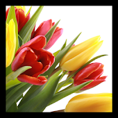 Tulips PRO live wallpaper