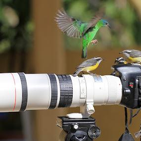 Cambacicas!  by Itamar Campos - Animals Birds ( morretes, blue dacnis female, saíra azul, bananaquit, cambacicas )