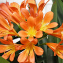 Drooping Clivia