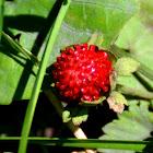 Mock strawberry
