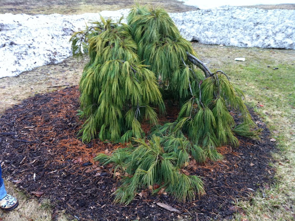 Weeping White Pine Project Noah