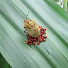 Scutellerid bug