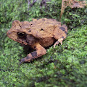 Southern Gulf Coast Toad