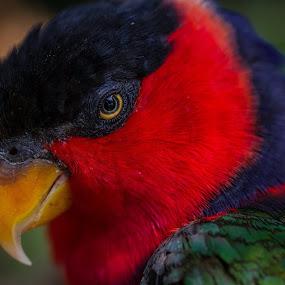 Lorikeet 2 by Nicole Nichols - Animals Birds ( bird, lorikeet bird, lorikeet,  )