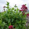 Valeriana roja. Red valerian