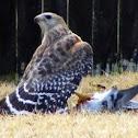 Red- shouldered Hawk