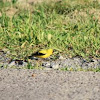american goldfinch,common yellowthroat