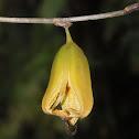 Orchid fruit