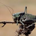 shield-backed katydid