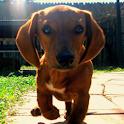 Dog Puzzle: Dachshund logo