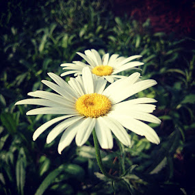 Flowers by Tobi Wachr - Flowers Flower Gardens ( white, yellow, plant )
