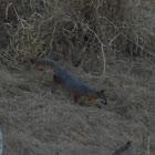Catalina Island Fox