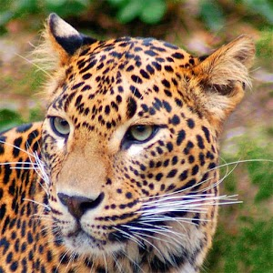 Jaguar Wallpaper Gallery Android Apps on Google Play