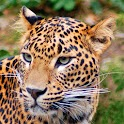 Jaguar Wallpaper Gallery icon