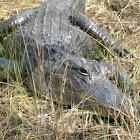 aligátor americano - american alligator