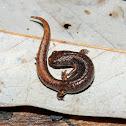 Four-Toed Salamander