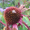 Garden snail on purple coneflower