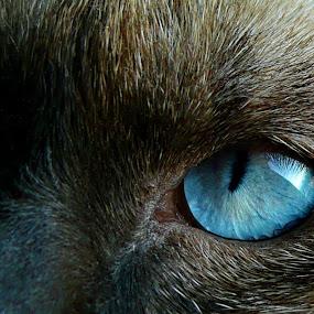 Blue Eyes by Zec Mladen - Animals - Cats Portraits ( cat, cat eyes, cat portrait, blue eyes, siamese cat,  )