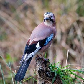 Jay perching on tree stump by Phil Barker - Animals Birds ( jay  nature   tree. )