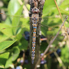 Blue-eyed Darner-female
