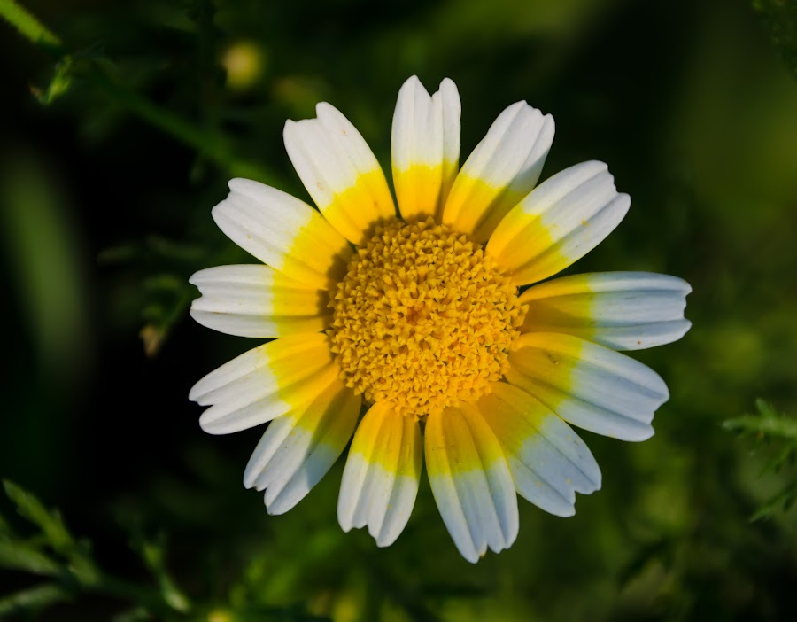 Mind blower by Ranjith K.U. - Flowers Flower Gardens ( white flower, yellow, yellow flower )