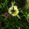 Carpenter bee aka Borer bee
