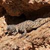 Ornate Dabb Lizard (Female)