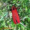 Netwing beetle