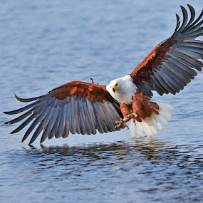 Fish Eagle -Okavango by Jan Fourie - Animals Birds