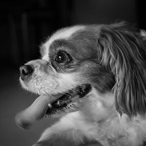 CKCS by Norman Leong - Animals - Dogs Portraits ( ckcs, dog, portrait )