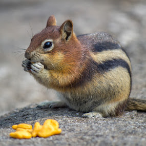 Fish and Chips by Paul Cushing - Animals Other Mammals ( varmit, chipmunk, eating, crackers, squirrel, goldfish )
