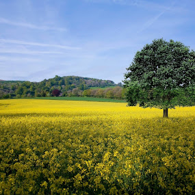 my latest photo uploaded to 500px. currently running at 95% popularity. by Robert Little - Landscapes Prairies, Meadows & Fields ( rapeseed, hills, lone tree, blue, tree line, meadow, forest, yellow, flowers, woods, fields )