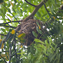 Black-Naped Oriole Nest