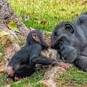 The Kiss by Jay Gould - Animals Other Mammals ( mother chimp, baby chimp kissing mom, guadalajara zoo, zoo, chimps, baby chimp,  )