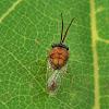 Parasitoid wasp ant