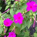 four o'clock flower, marvel of Peru