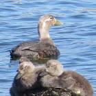 Flying Steamer-Ducks