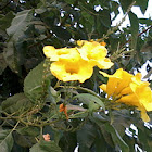 Yellow Trumpetbush