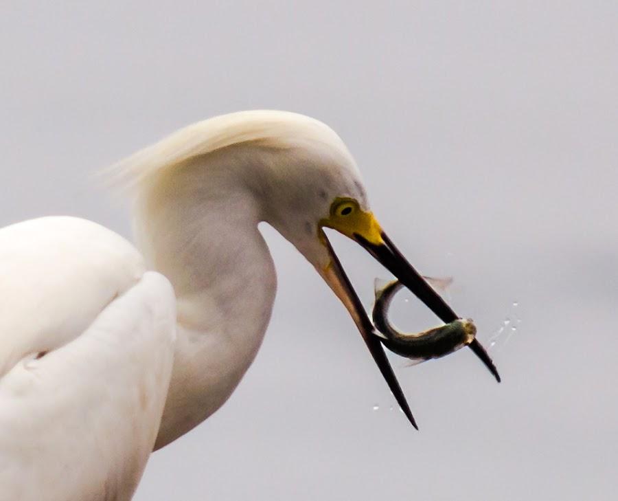 eating by Yayo-Rosario Diaz - Animals Birds ( fish, food, white heron )
