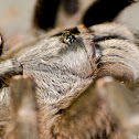 Horned Baboon Tarantula