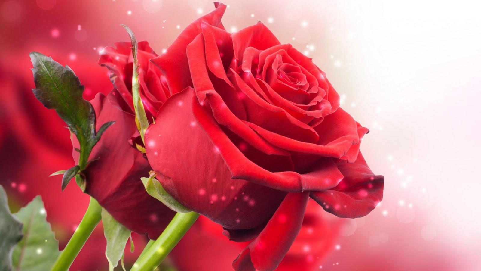 Rose Wallpaper Red Rose Live Wallpaper