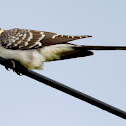 Cuco-rabilongo...Great Spotted Cuckoo