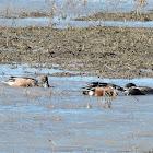 Northern Shoveler Ducks