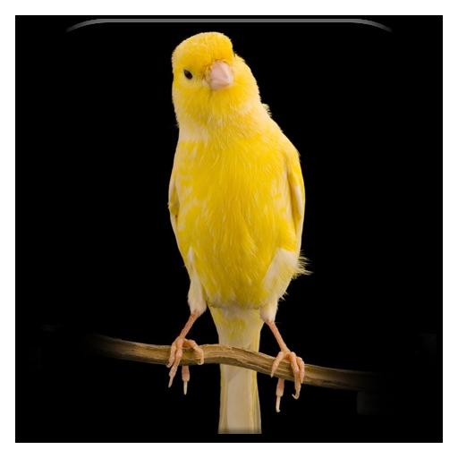 Suara Kicau Burung Kenari