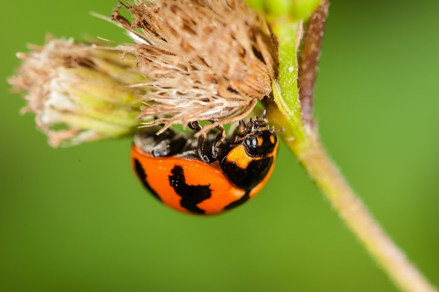 Ladybug by Jimmy Fang - Animals Insects & Spiders ( animals, macro, ladybird, ladybug, insects, beetle,  )