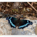 Indian Blue Admiral