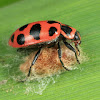 Spotted Lady Beetle (on wasp cocoon it was parasitized by)