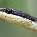 Northern tree snake