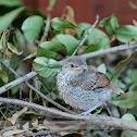 Brown Thrasher Birdling