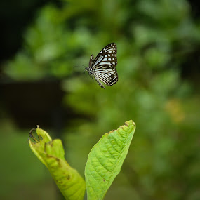 butterfly by Amol Patil - Animals Insects & Spiders ( flight, butterfly )
